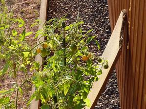 Nemůžu uvěřit, že jsme si něco vypěstovali - teda rajčátka jsou čistě manželova zásluha :-) Ostatně jako skoro všechno kolem baráčku
