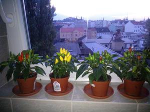 Den 8 - papričky stále všechny živé a krásně se zbarvující :-)