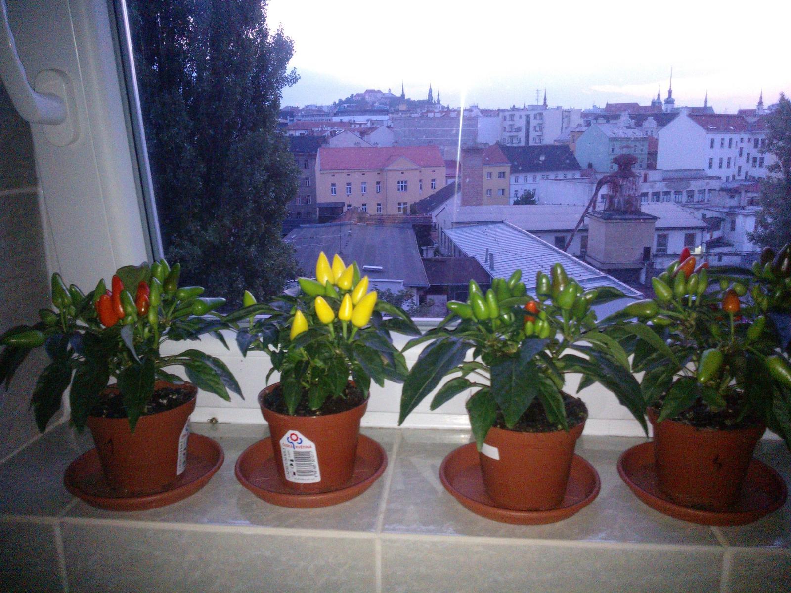 Pokus s vodou - Den 8 - papričky stále všechny živé a krásně se zbarvující :-)