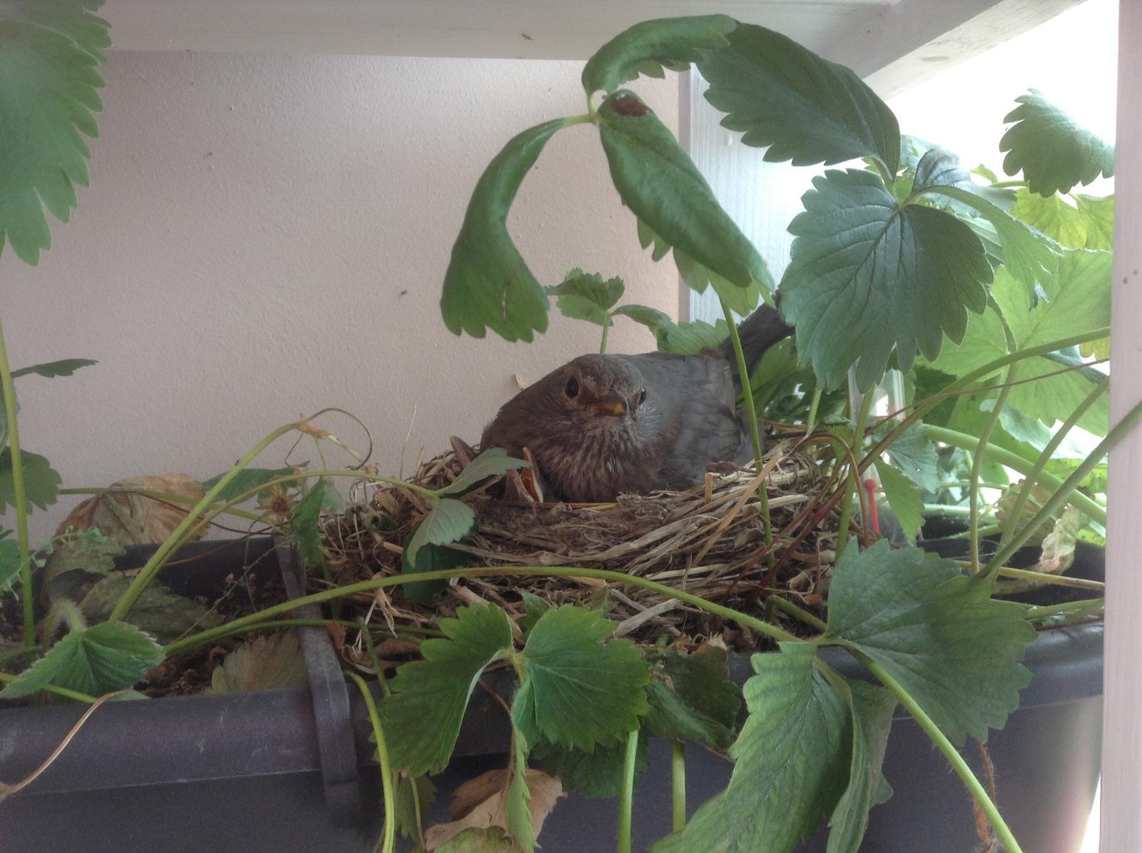 Moje jahody :) - Maminka stráži :)
