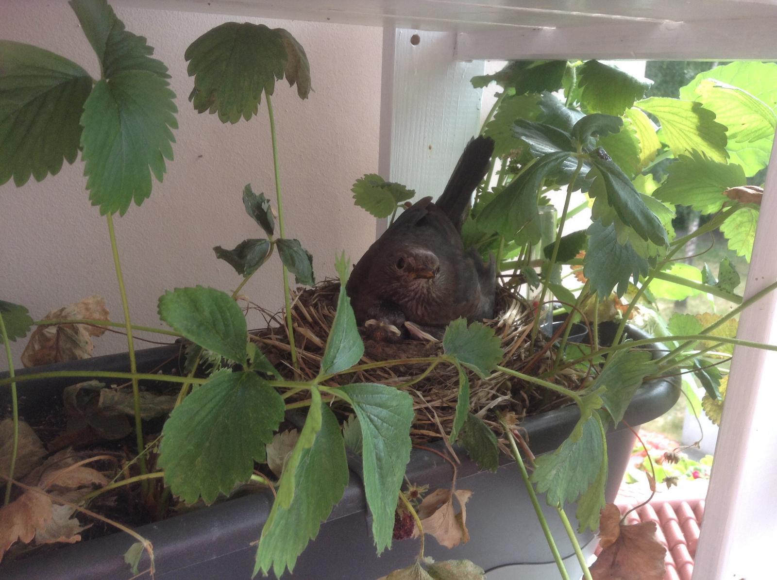 Moje jahody :) - Len čo ma zbadá vo dverách, okamžite ich ide chrániť ;)