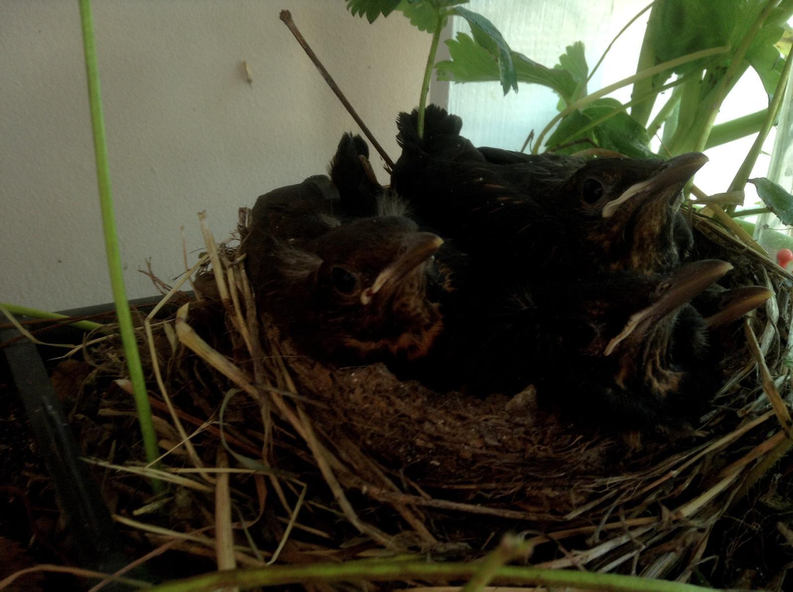 Moje jahody :) - Posledná foto... Zrazu fŕŕŕ a boli preč.... ;(