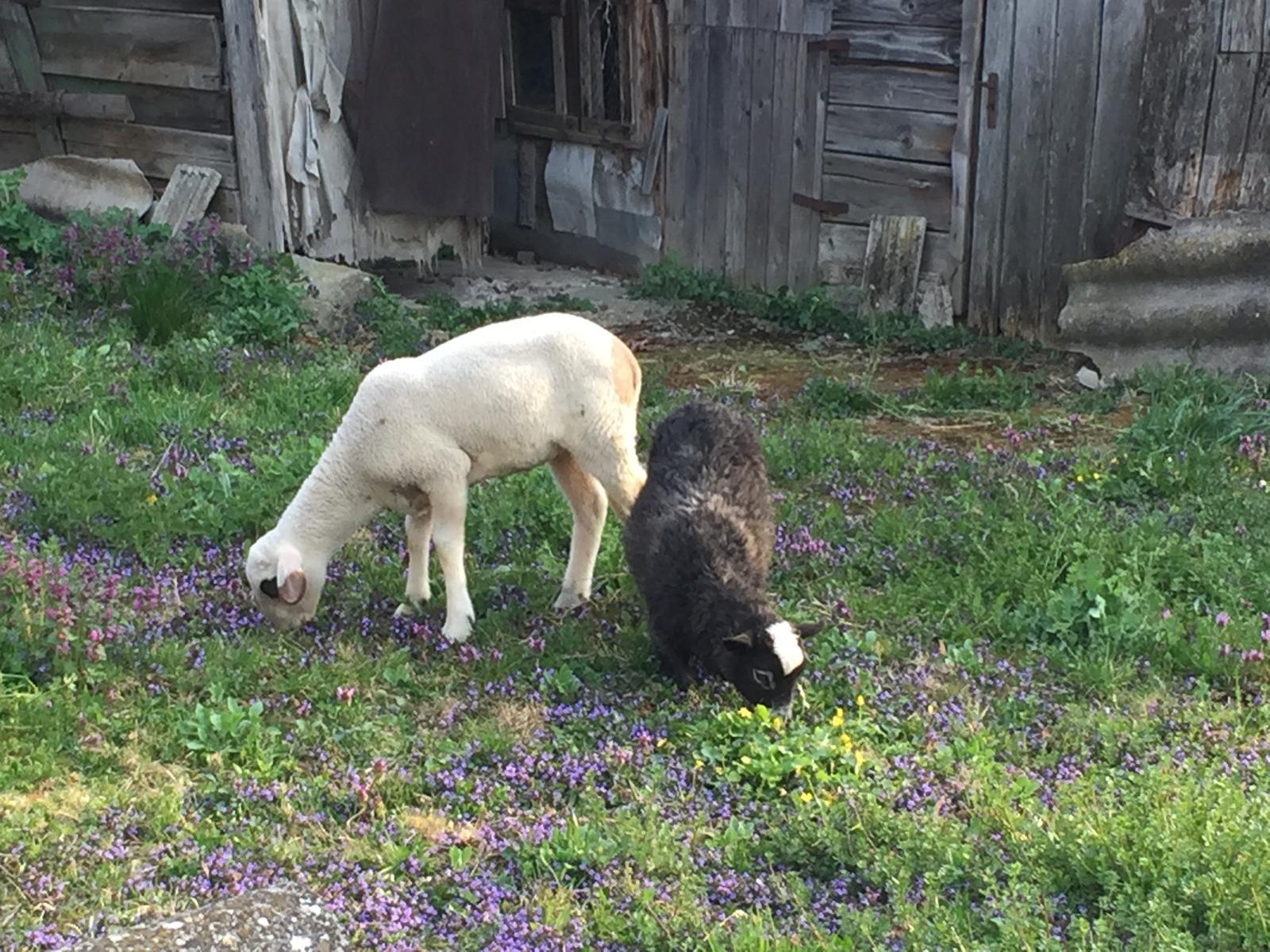 Perníková chalúpka - kosačky kosia, noc prežili bez problémov, takže super :)