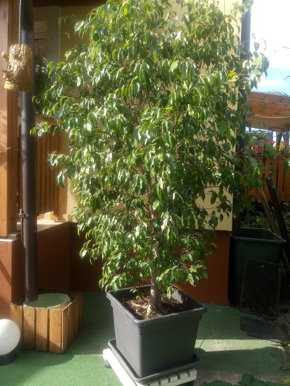 Ficus Benjamin 2,4m - Obrázok č. 1