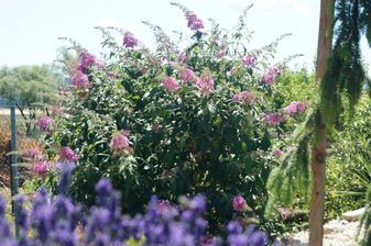 Budleja davidova, kupena min. rok, bola malinka a takato kraska je z nej dnes, kvitne az do konca oktobra, staci jej ostrihat odkvitnute kvety a vyrasi zas nove.