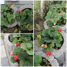 Zajtra prvého augusta a aké máme zasypané jahody a kopec v kvete