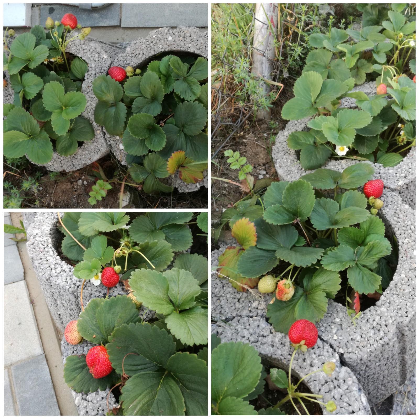 Domček na kopčeku - Zajtra prvého augusta a aké máme zasypané jahody a kopec v kvete