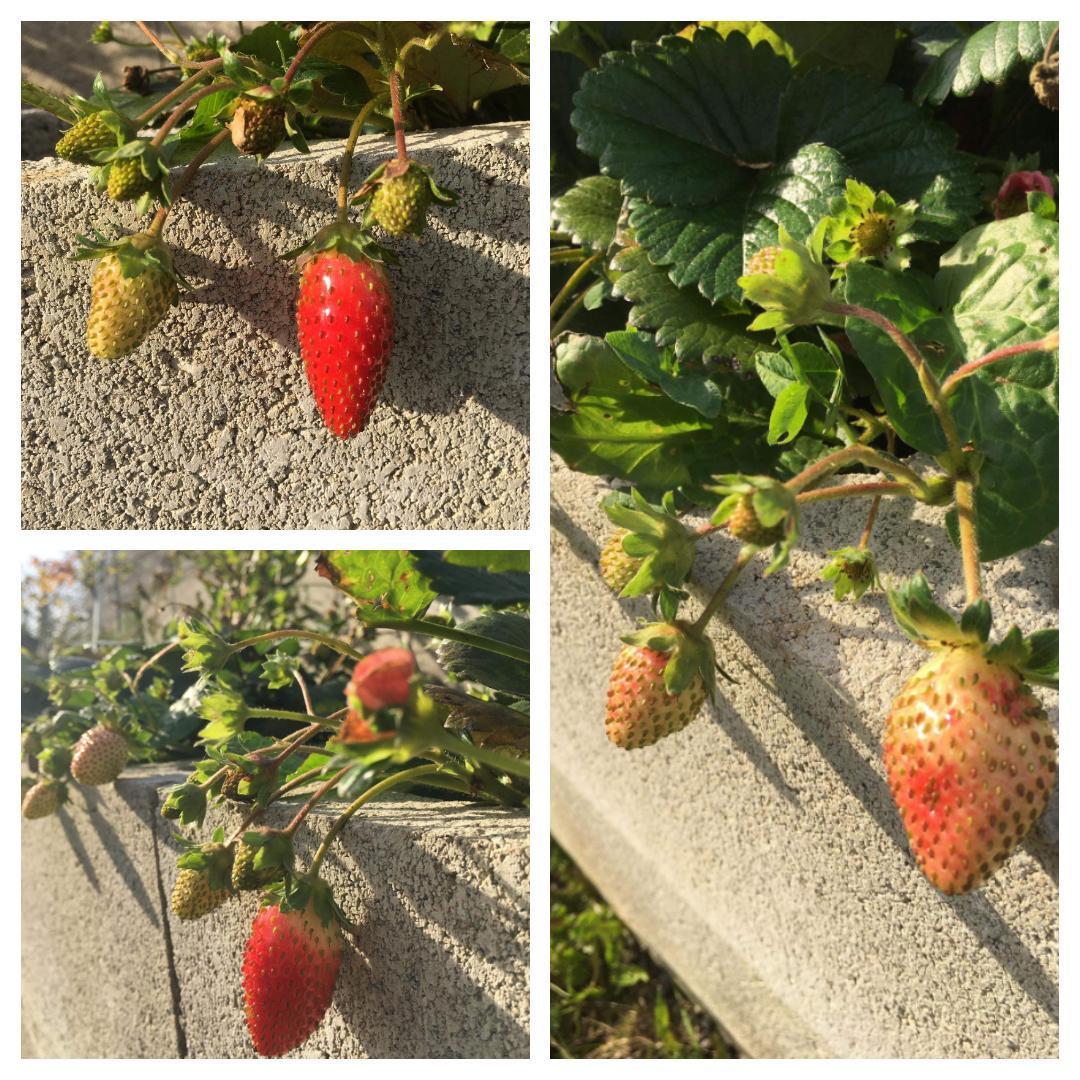 Domček na kopčeku - 24.oktober a jahody v plnej kráse ❤️❤️💪💪💪