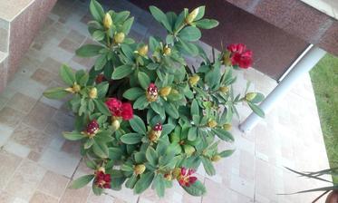 rododendron červený