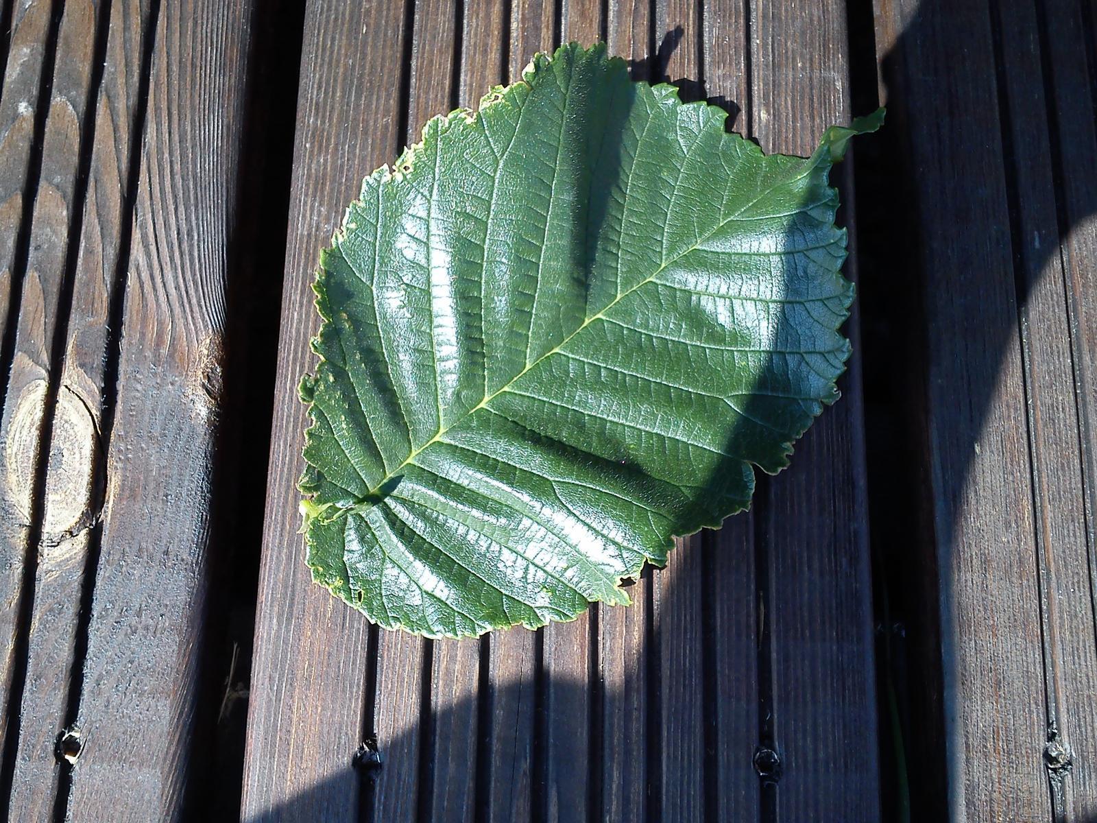 Aký je toto list? Má asi 10 cm. - - Záhrada