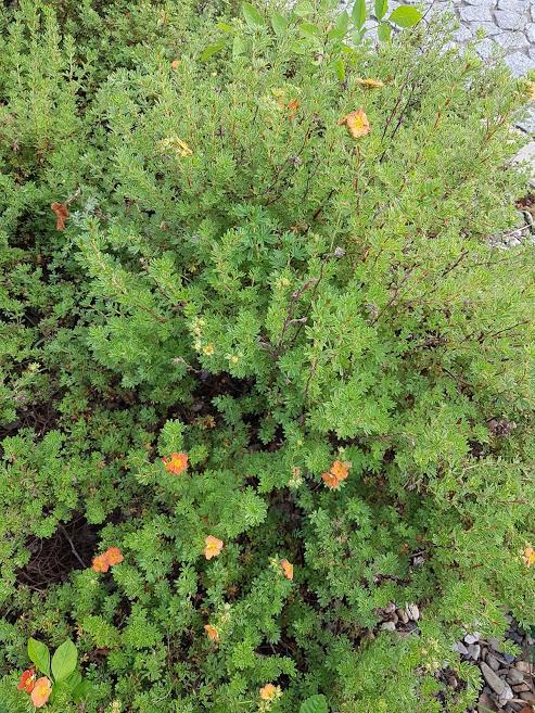 Střecháčci, potřebuji pomoc - poznáte někdo na fotkách o jaké nízké keře se jedná? Foceno na podzim... Děkuji moc :-) - Obrázek č. 1