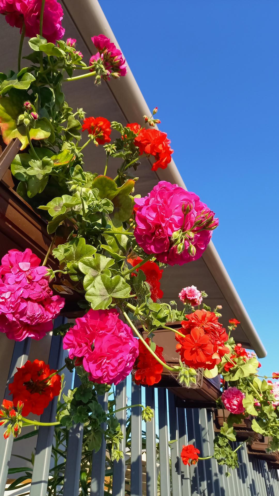 Zahrada - Muskaty na teraske sa pekne roziehaju