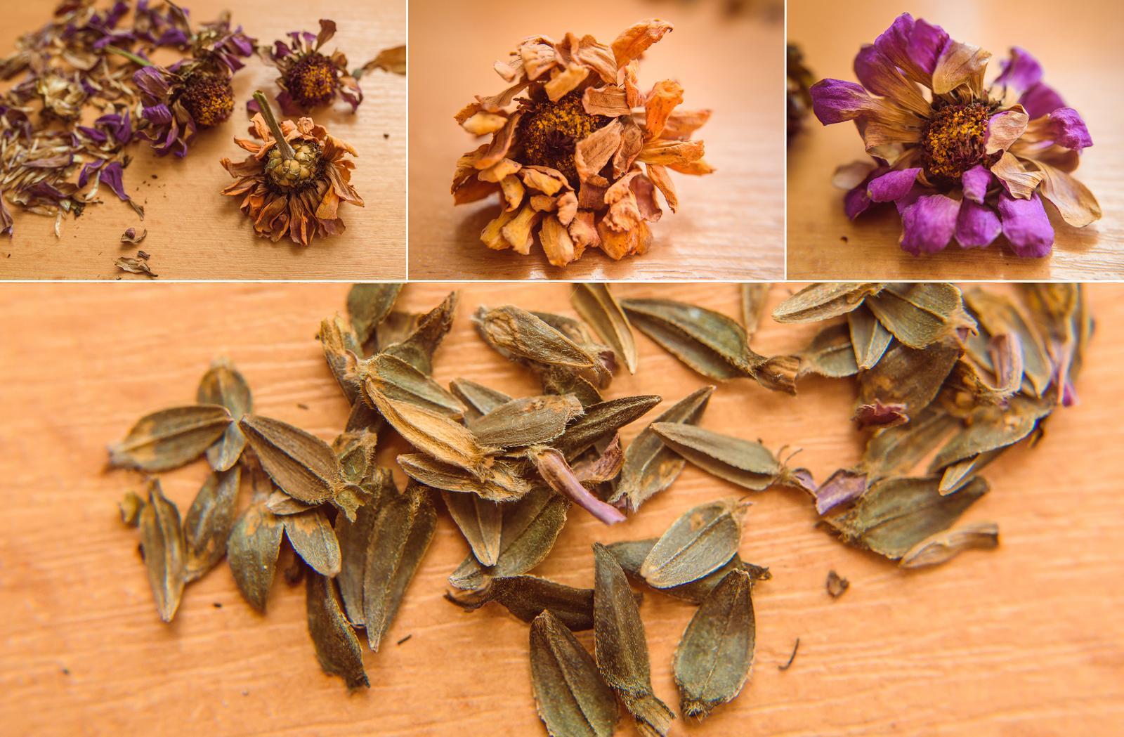 Vo víre kvetov... - Semienka cínií z minulého roku pripravené :)