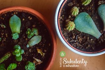 TIP pre nevestičky, ktoré milujú kaktusy a sukulenty. Z ulomených lístočkov a kúskov je veľmi jednoduché vypestovať nové rastlinky. Jediné čo potrebujete je dostatok času, pretože rastú veľmi pomaly. Na foto je moja kaktusovo-sukulentová množiareň :)