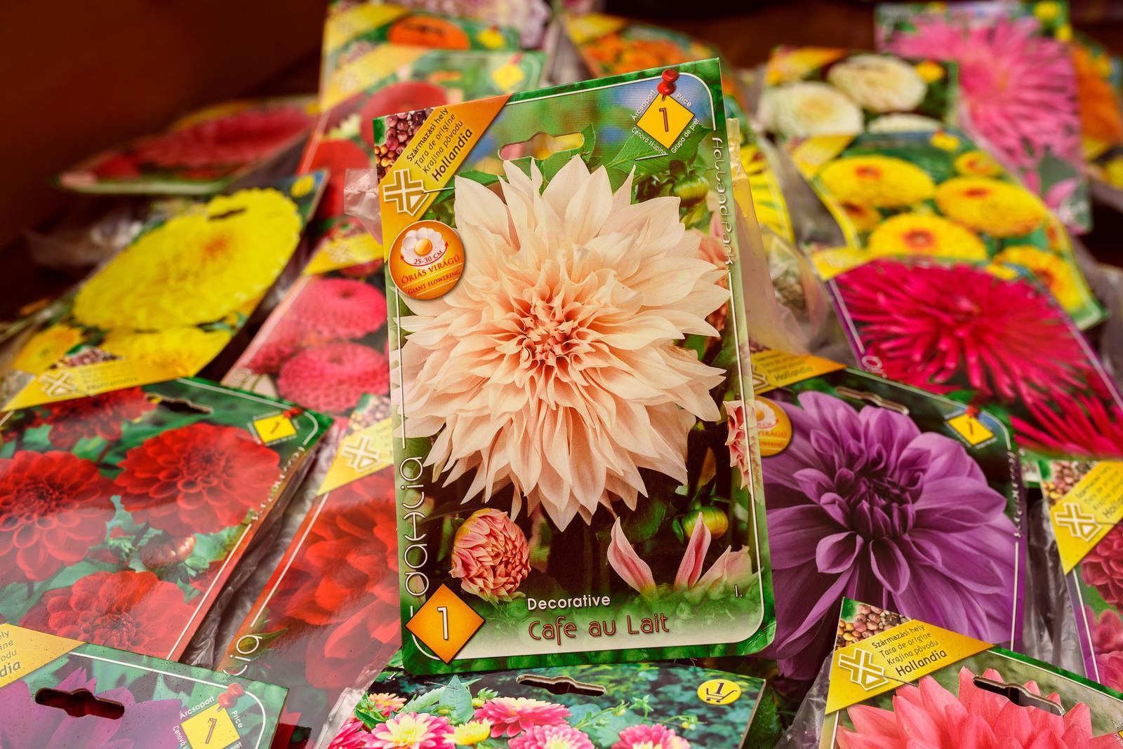 Vo víre kvetov... - Očarujúca dalia Cafe au Lait...
