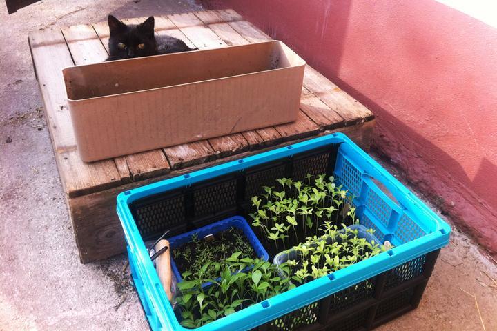 Pikírovanie sadeničiek.... aj s malým pomocníkom :)
