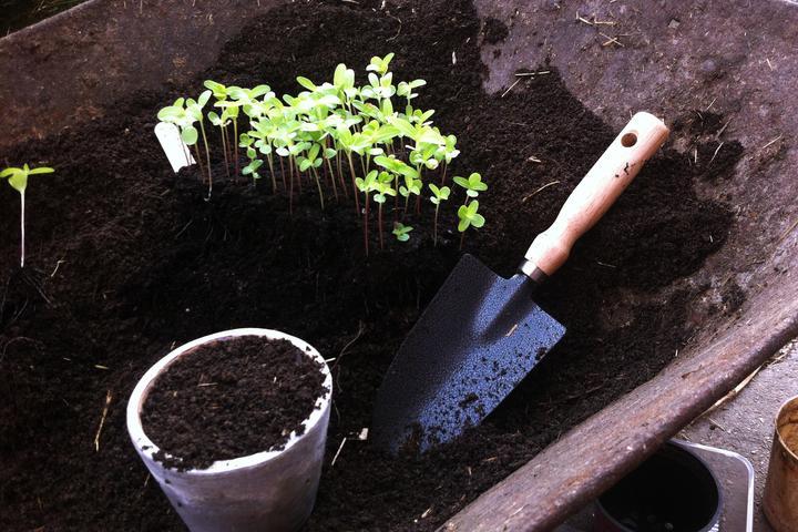 Kaktusovokveté cínie - zasiala som približne polovicu sáčku semienok, ale vyklíčili snáď všetky. Už potrebovali viac miesta na rast, tak som ich musela pikírovať do väčších nádob.