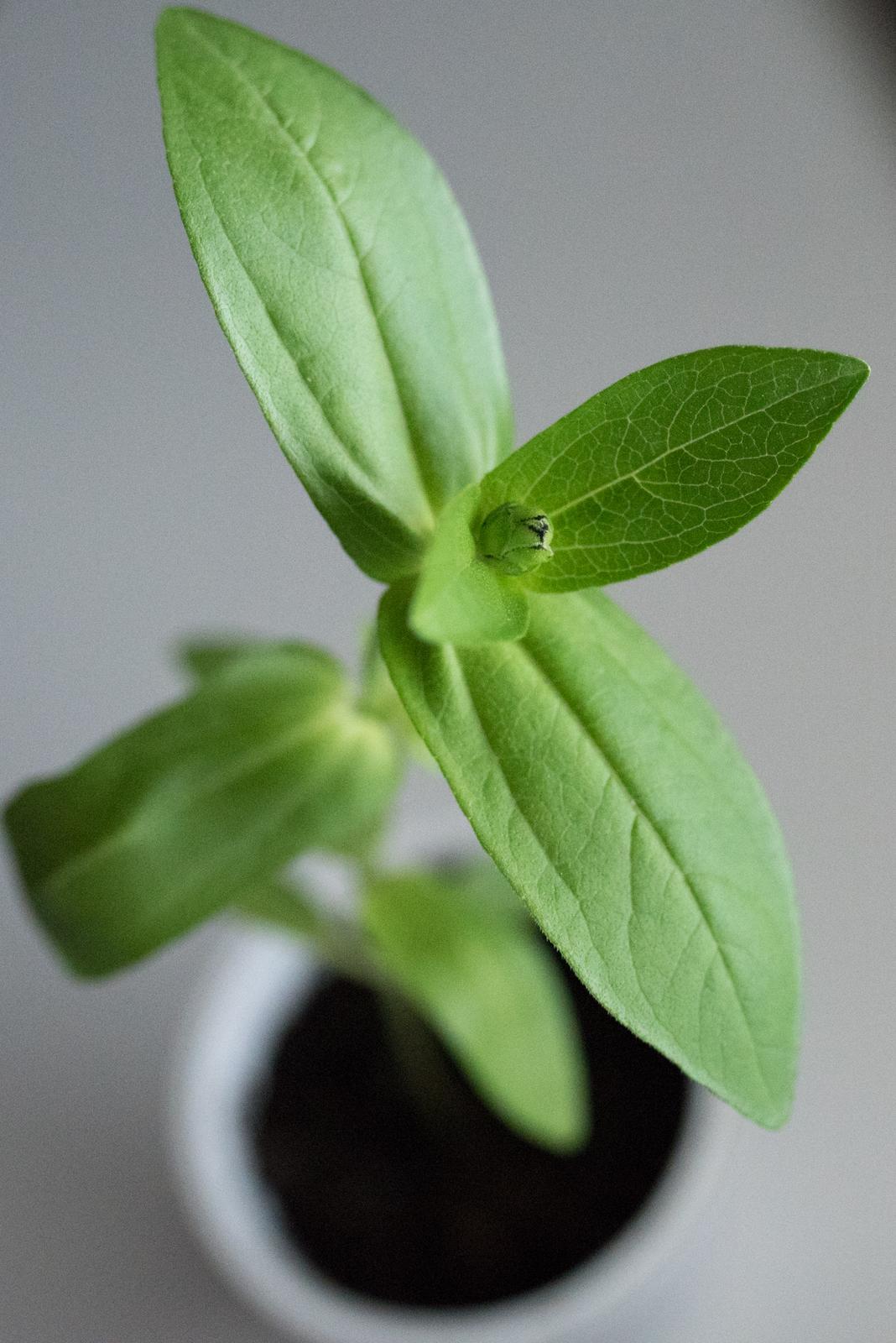 Vo víre kvetov... - Prvý kvetný púčik na sadenici Lime-red cínie!!! Táto odroda je náherná, ak sa im bude dobre dariť, chcela by som ich mať aj vo svadobnej kytici :) aj ked neviem, či si to nepoviem pri každej kvetine :D