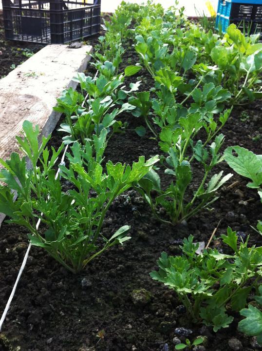 Ranunculusy mali skvelú klíčivosť, momentálne väčšina rastliniek má už cez 10 cm.