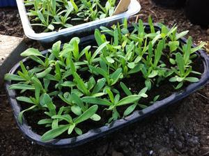 Vydarené sadenice gypsomilky - zistila som, že sadeničkám prospieva pikírovanie. Tie čo som od výsevu nepresadila zastavili rast a sú na vyhodenie :-( ale skúsim aj tie ešte presadiť, je mi ich ľúto. Tieto by už tiež potrebovali samostatné kvetináče