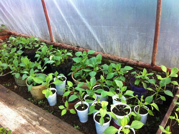 Dálie zo semienka - rastú ako burina, verím, že budú kvitnúť rovnako bohato ako tie pestované z hľúz a odrezkov.