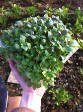 Papuľka (Snapdragon) - semienka tejto kvetiny sú menšie než mak, ale vskutku životaschopné! Neviem, či nájdem toľko miesta na tie sadenice čo z tohto výsevu budú. A pritom som vysiala iba polovicu vrecka