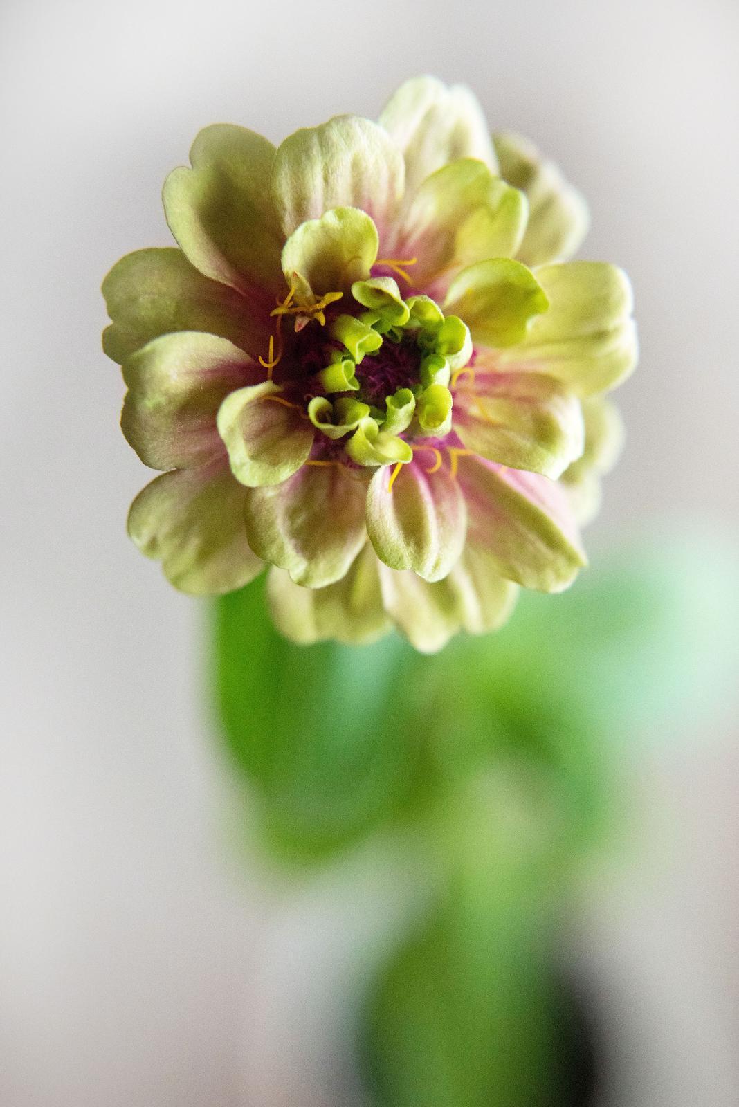 Vo víre kvetov... - LIME-RED cínia - toto je oficiálne moja prvá kvetinka, ktorú som vrámci mojej náročnej misie vypestovala. Je nádherná, akurát, že má trochu netradičnú veľkosť (cca ako dvojeurovka) <3