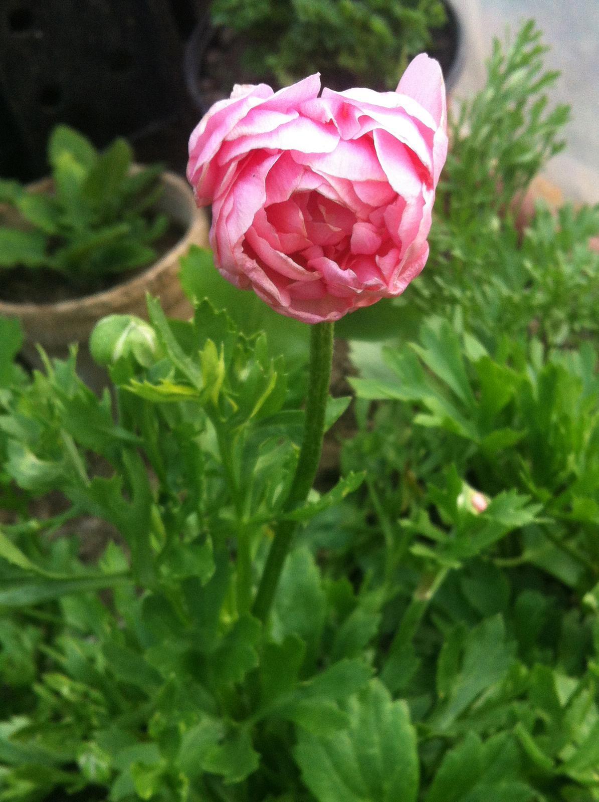 Vo víre kvetov... - Damy a pani - prvý ranunculus - akurát že vôbec nevyzerá ako tie z obrázkov :D