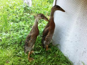 Indickí bežci - Cuketka a Lukáško - Moji noví pomocníci na boj proti slimákom... keďže odmietam sypať doma v záhrade akúkoľvek chémiu, idem na to biologicky :-)