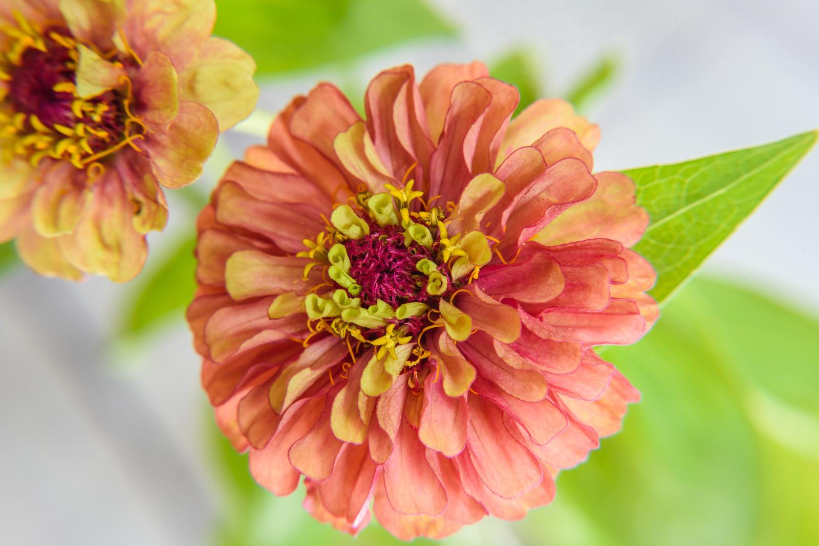 Vo víre kvetov... - Zakvitla mi na parapete v kelímku :)