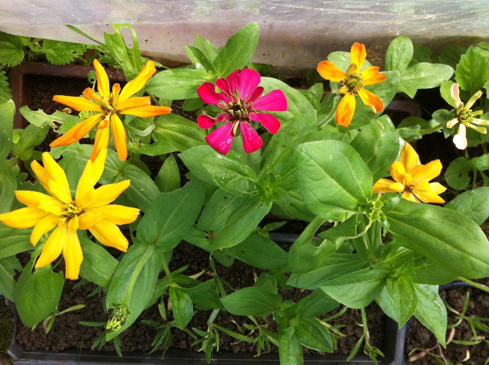 Vo víre kvetov... - Sadenice kaktusokvetých cínií už tiež kvitnú - musím ich čím skôr vysadiť do zeme