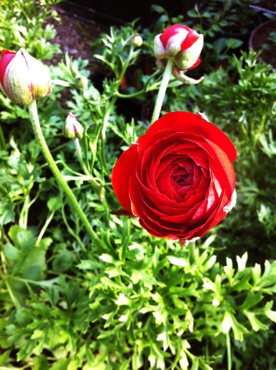 Červený ranunculus, ktorý vyzerá ako ruža :-)