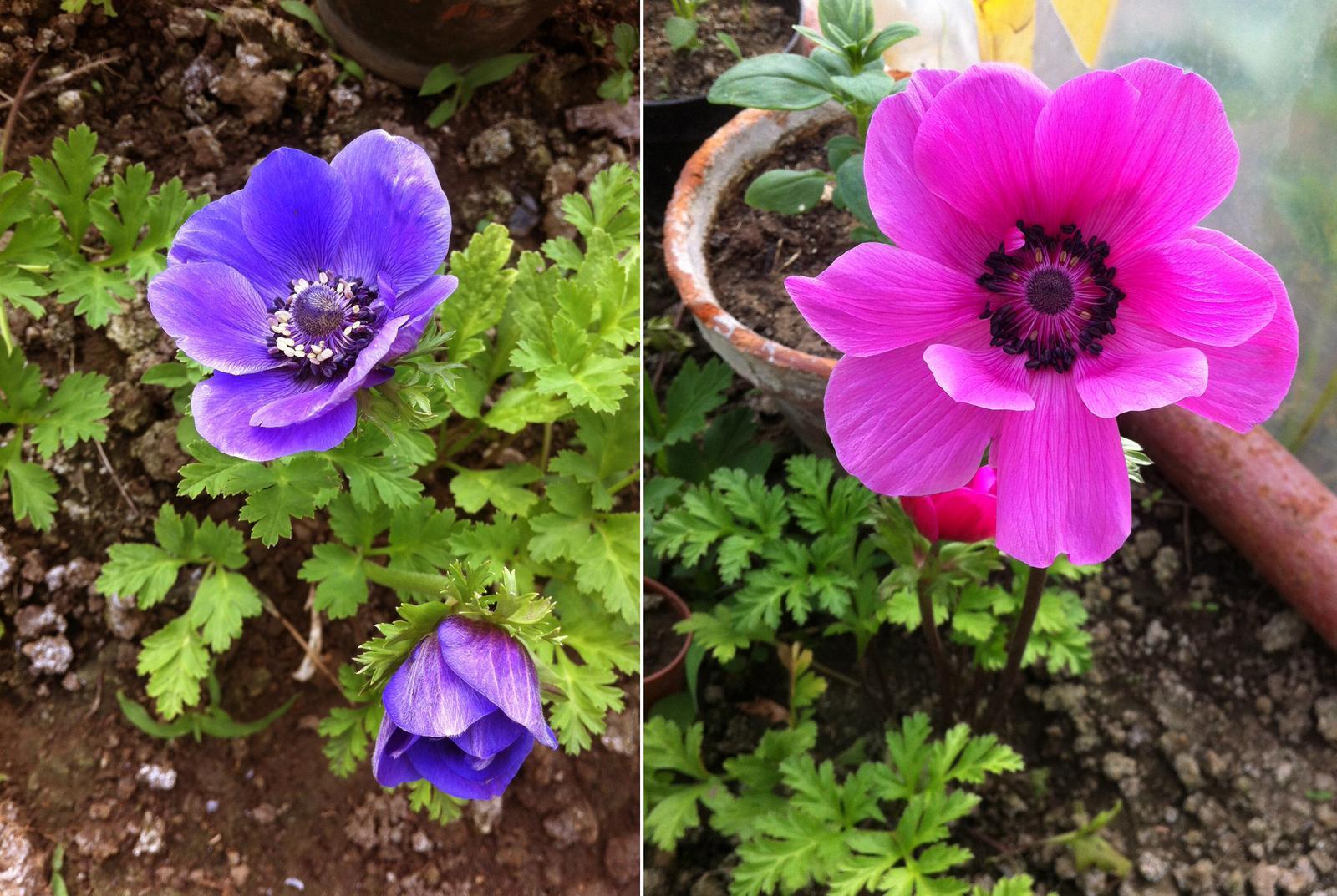 Vo víre kvetov... - Anemonies - veternice. Konečne som ich zachytila aj otvorené