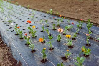 Druhá várka sadeníc - tieto boli staršie, poctivo pikírované a mali lepšie korene - tu už dúfam veľké straty nebudú.