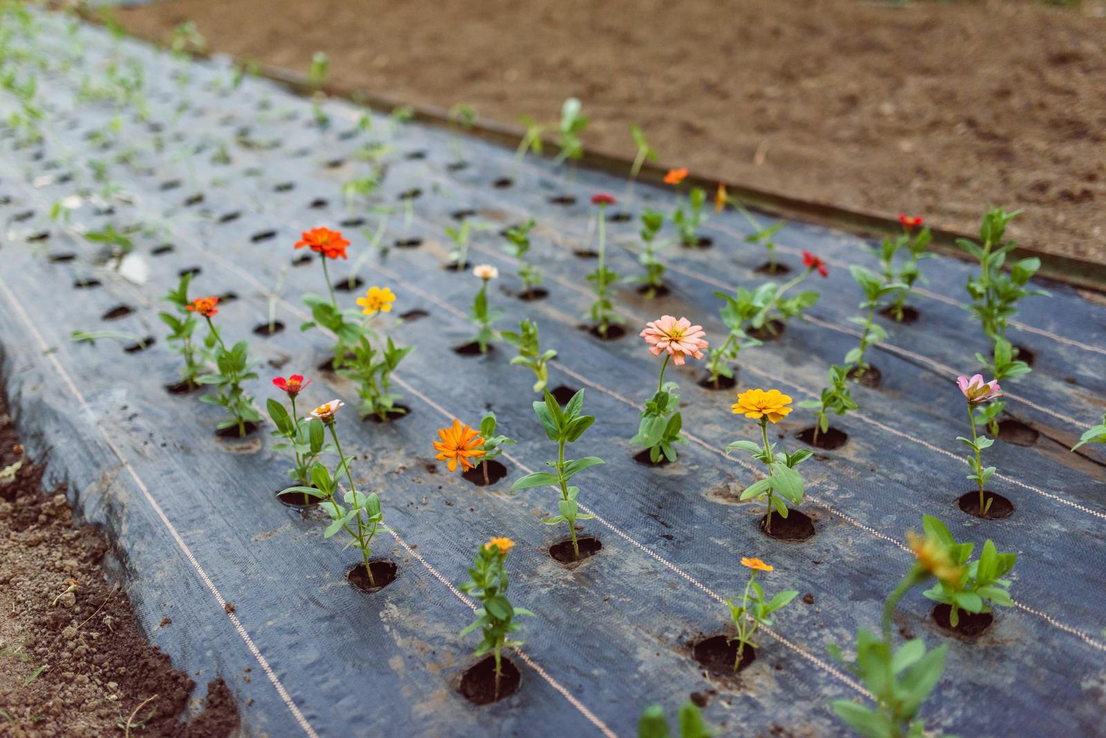 Vo víre kvetov... - Druhá várka sadeníc - tieto boli staršie, poctivo pikírované a mali lepšie korene - tu už dúfam veľké straty nebudú.