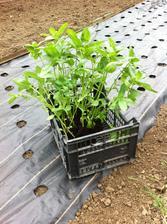 Do agrofólie som ako prvé vysadila sadenice z pareniska - žiaľ, malo to byť hotové už dávno, pretože sa mi sadeničky veľmi vytiahli a nemali silnú stavbu.