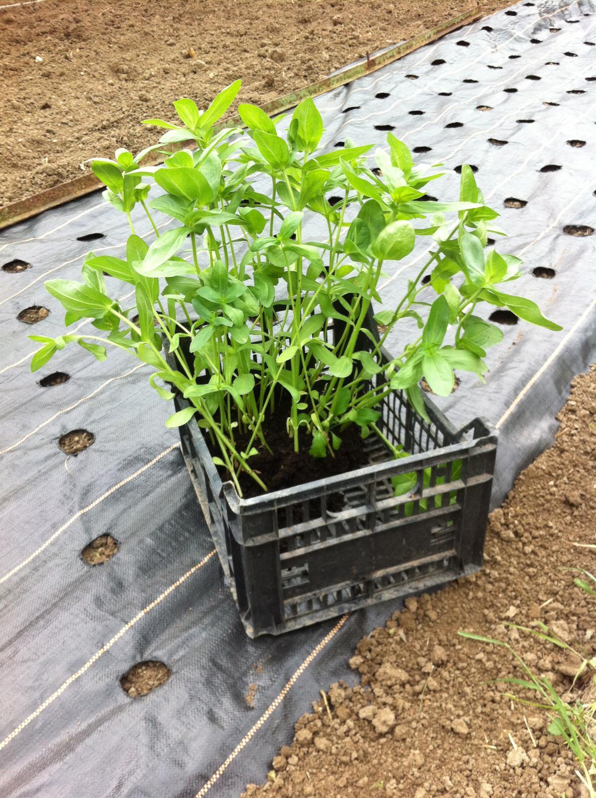Vo víre kvetov... - Do agrofólie som ako prvé vysadila sadenice z pareniska - žiaľ, malo to byť hotové už dávno, pretože sa mi sadeničky veľmi vytiahli a nemali silnú stavbu.