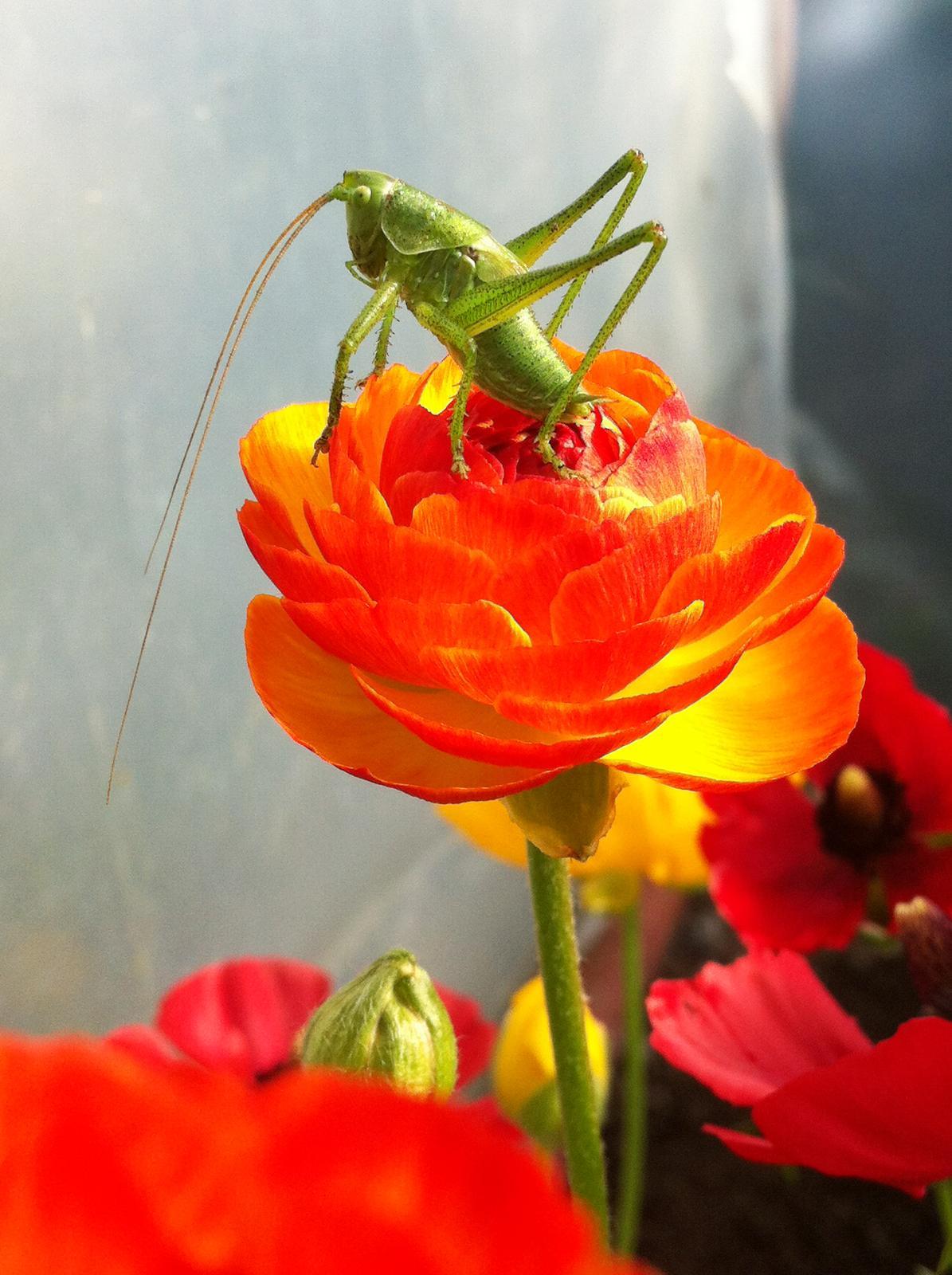 Vo víre kvetov... - Tomuto koníkovi sa už niekoľko dní nechce odísť od mojich iskerníkov a vysedáva na kvietkoch
