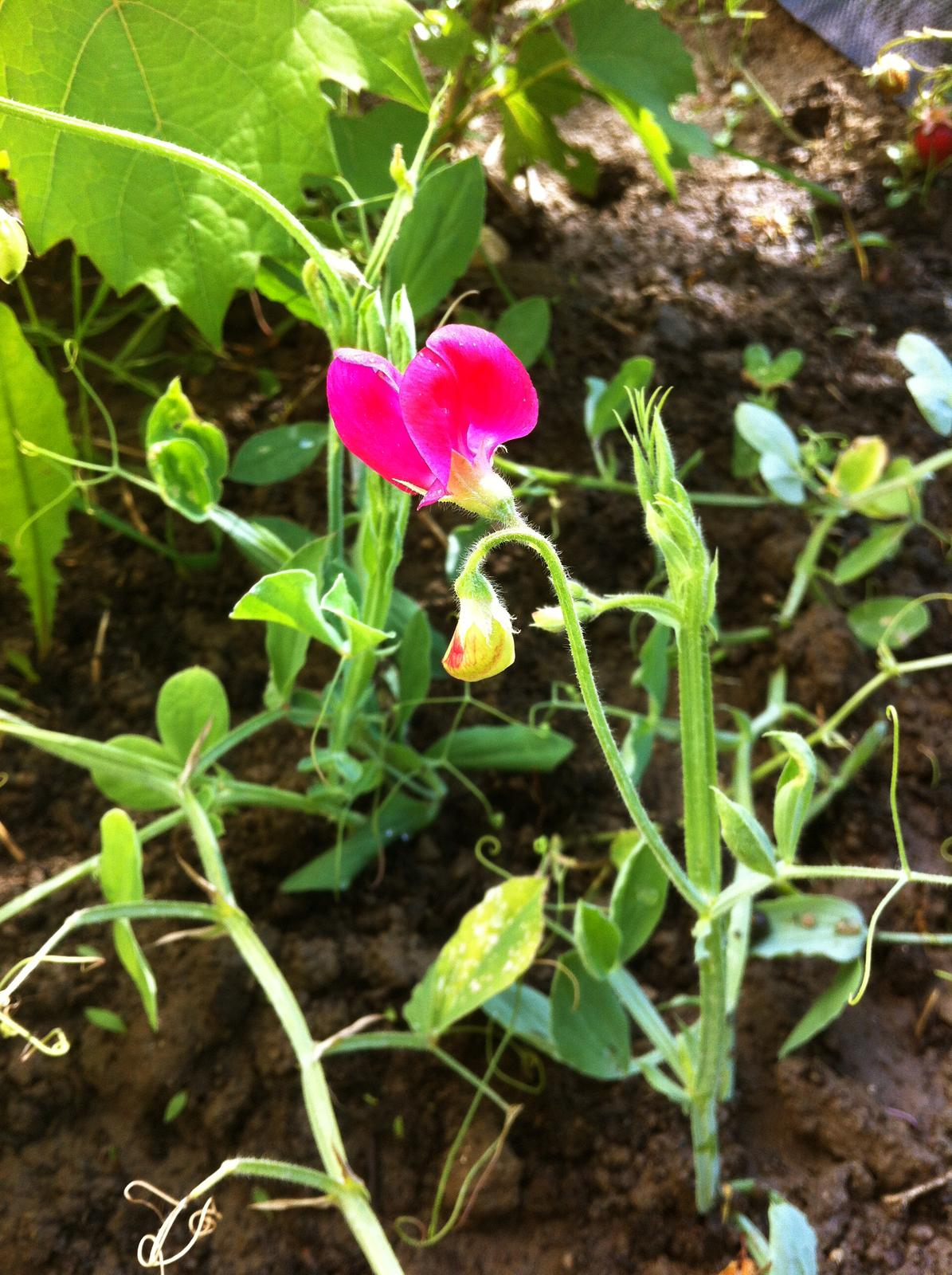 Vo víre kvetov... - Tento malý nepodarok je Hrachor voňavý - rastlina by mala dorastať do výšky viac ako jeden a pol metra, avšak tento môj je stále akýsi krpatý :-D