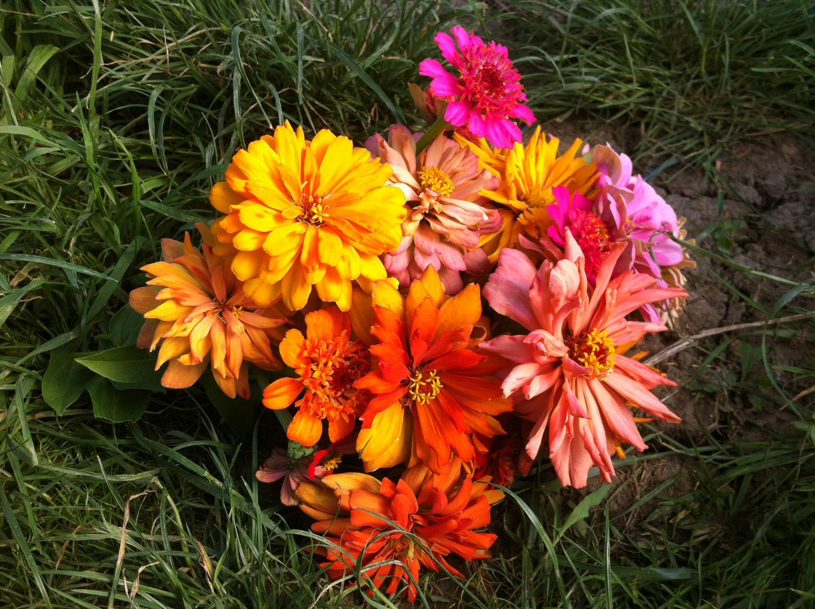 Vo víre kvetov... - Prvá kytička cínií potešila. Tieto kvietky išli na likvidáciu, pretože potrebujem, aby sa rastlinky začali rozvetvovať, preto som ich musela všetky odstrániť