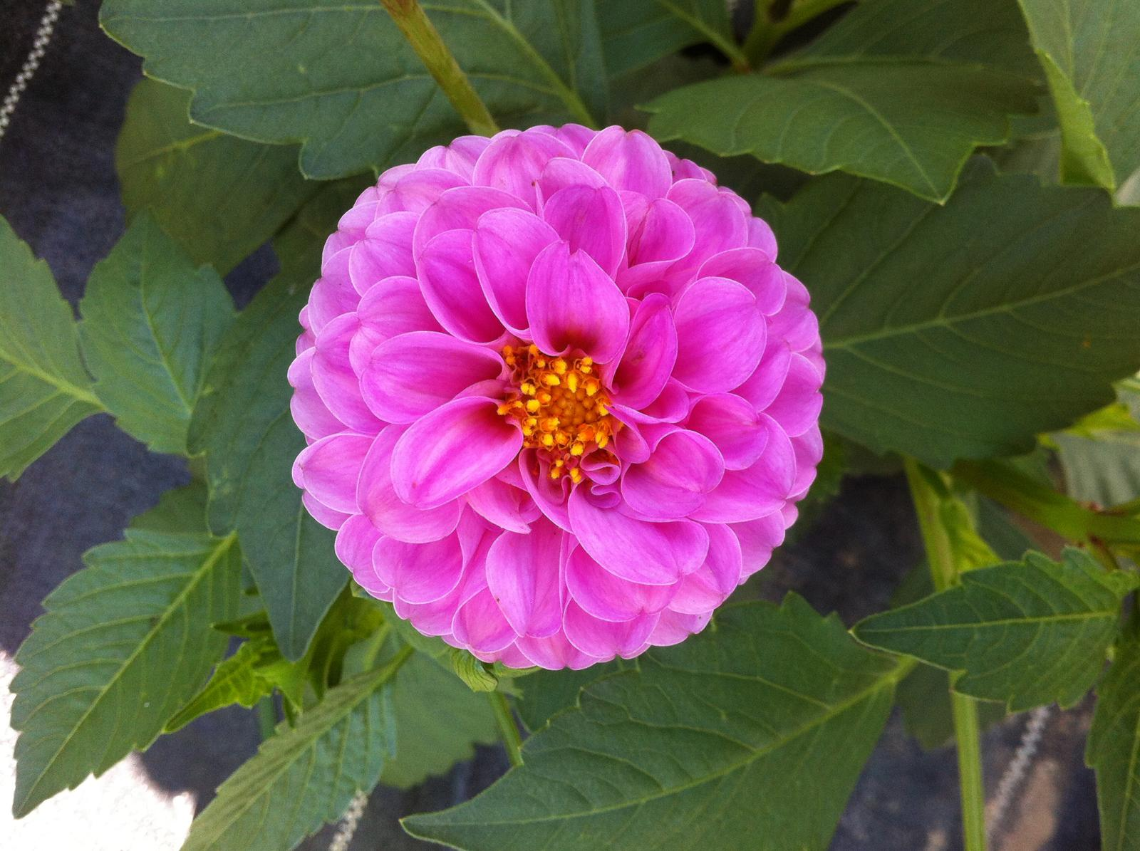 Vo víre kvetov... - Pomponkovita dalia - zatial maju veľmi krátke stonky tak na rez to ešte celkom nie je. Ale vyzerá ako z obrázku!
