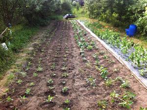 Dnes sme vysadili 200 sadeničiek dálií (4 rady zľava). Keď som rátala, koľko ich už máme, chýba pár koreňov do rovných 500 :-)