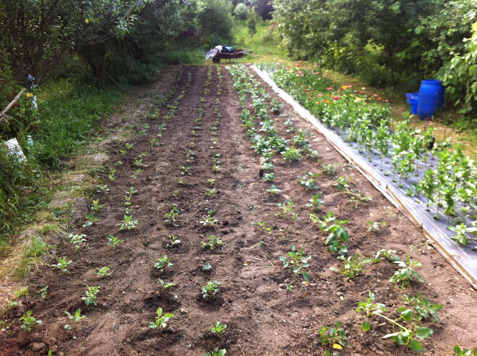 Vo víre kvetov... - Dnes sme vysadili 200 sadeničiek dálií (4 rady zľava). Keď som rátala, koľko ich už máme, chýba pár koreňov do rovných 500 :-)