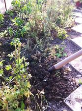 Ranunculusy ukončili tohtoročnú sezónu - hľuzky vykopané a usušené. Teraz čakajú v suchu na neskorú jeseň kedy ich opäť vysadím.