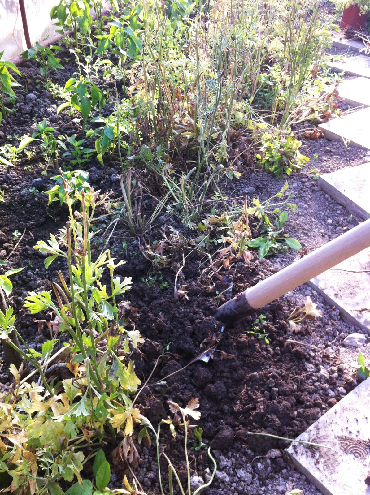 Vo víre kvetov... - Ranunculusy ukončili tohtoročnú sezónu - hľuzky vykopané a usušené. Teraz čakajú v suchu na neskorú jeseň kedy ich opäť vysadím.