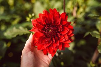 Karmínová nádhera, do ktorej som sa zamilovala na prvý pohľad! Dahlia Garden Wonder :-) Aranžmán z týchto kvetov je v druhom albume