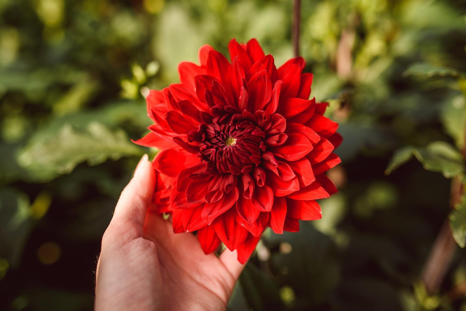 Vo víre kvetov... - Karmínová nádhera, do ktorej som sa zamilovala na prvý pohľad! Dahlia Garden Wonder :-) Aranžmán z týchto kvetov je v druhom albume