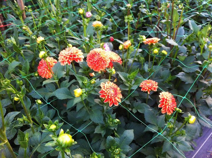 Tato rastlinka sa uz poriadne rozbehla - vsetky oranzove kvietky na foto su z jednej dalie :-)