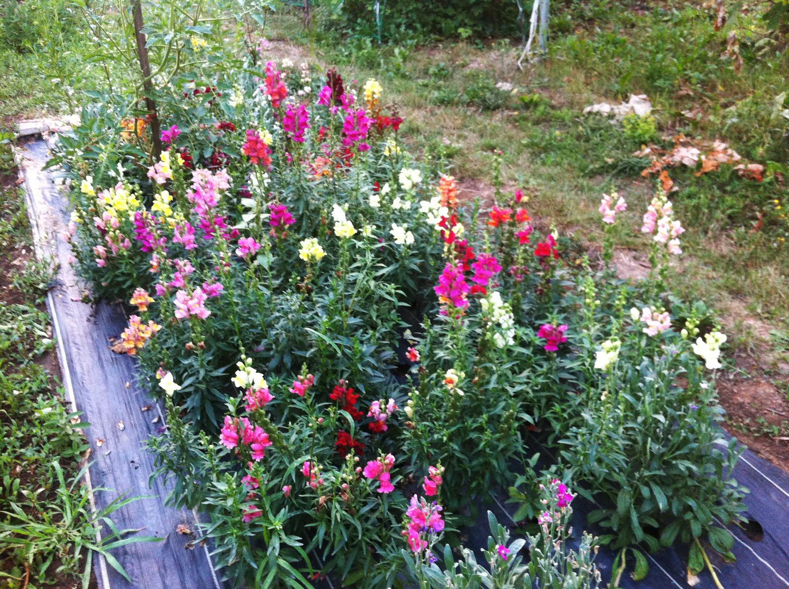 Vo víre kvetov... - Papulky - uplna farebna zmeska - skoda ze u nas sa malo kedy predavaju len jednofarebne - asi budem zvazovat, ze z tych najkrajsich si vezmem semienka na dalsi rok
