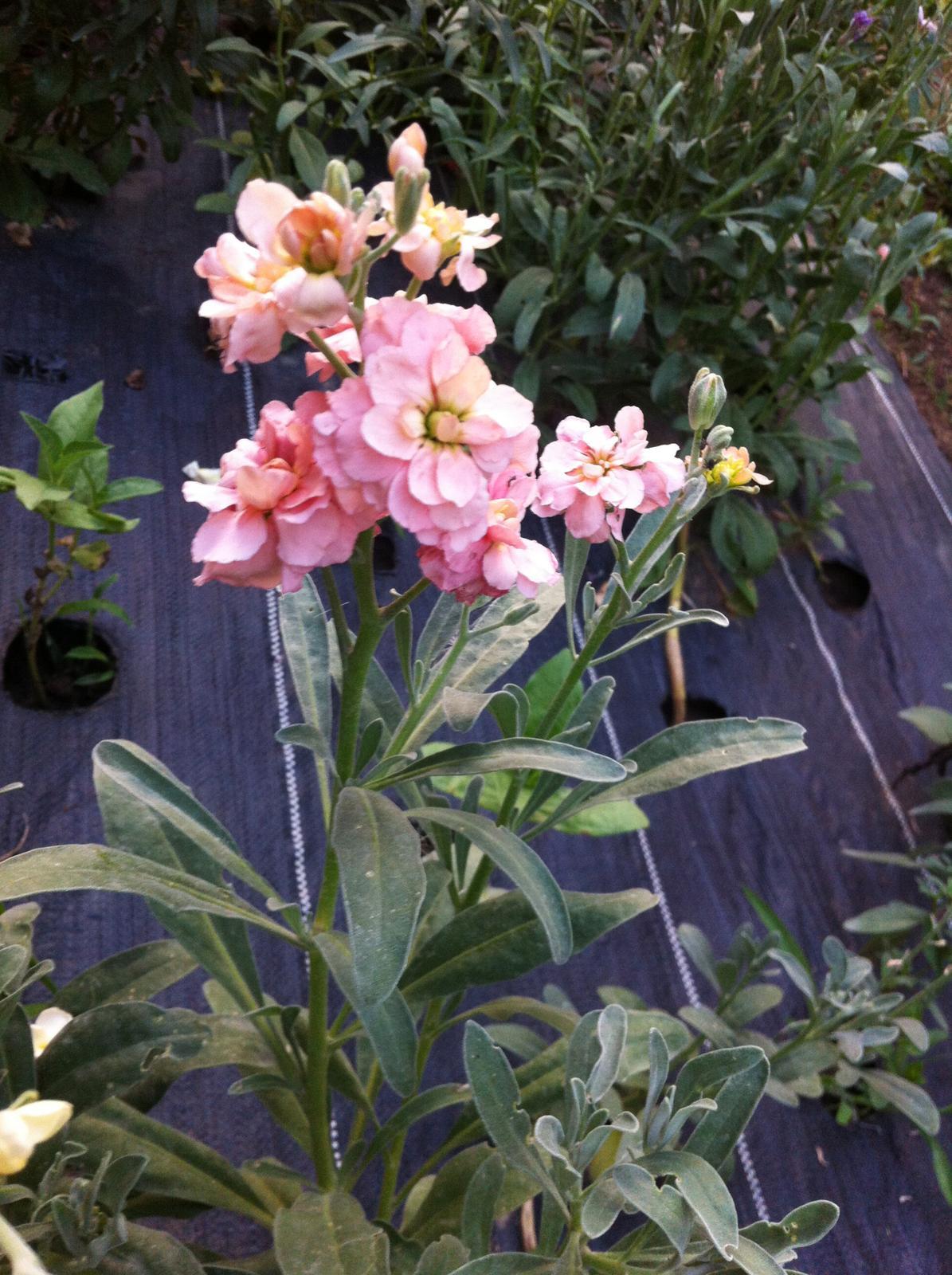 Vo víre kvetov... - Matthiola - fiala siva